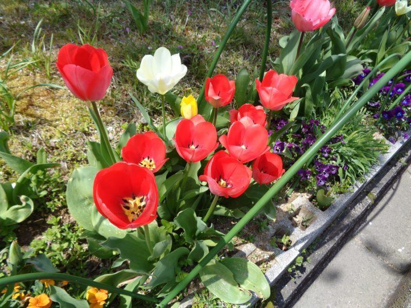 DSC01054 800x600 - 【園芸】桜とチューリップ