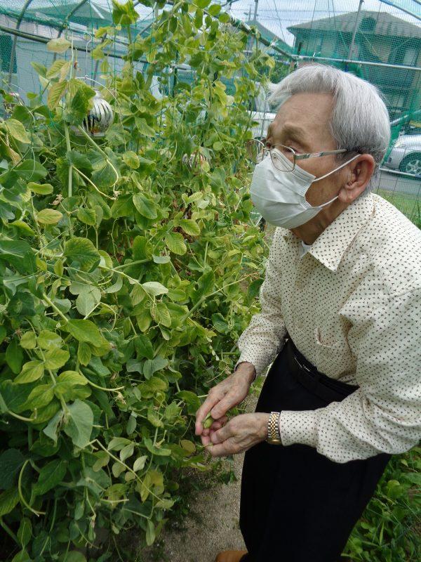 DSC01766 - 【園芸】えんどう豆の収穫をしました。